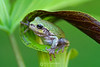 Tree frog in pitcher plant