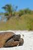 Gopher tortoise on beach