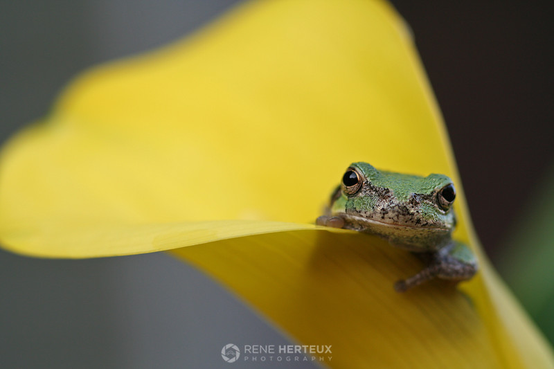 Tree frog in flower in calla lily