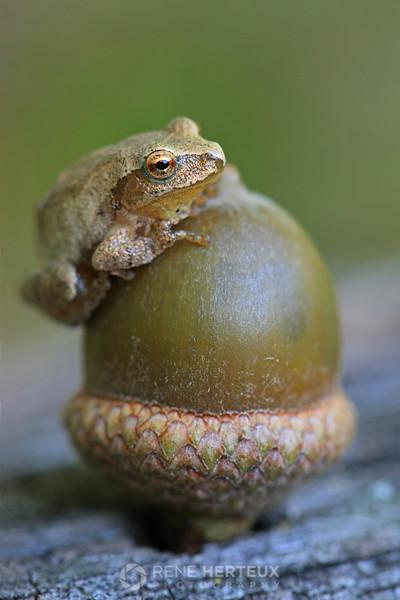 Chorus frog on acorn