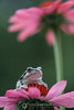 Copes tree frog on coneflower