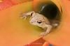 Cuban tree frog in bromeliad