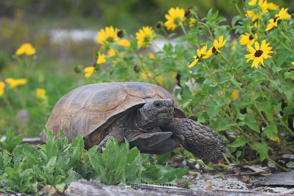 Gopher tortoise in dune daisies