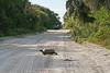 Gopher tortoise crossing the road