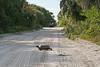 Gopher tortoise crossing the road