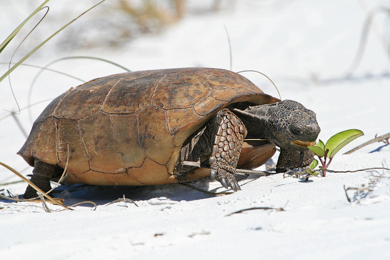 Gopher tortoise lunch time