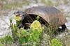 Gopher tortoise eating cactus bloom