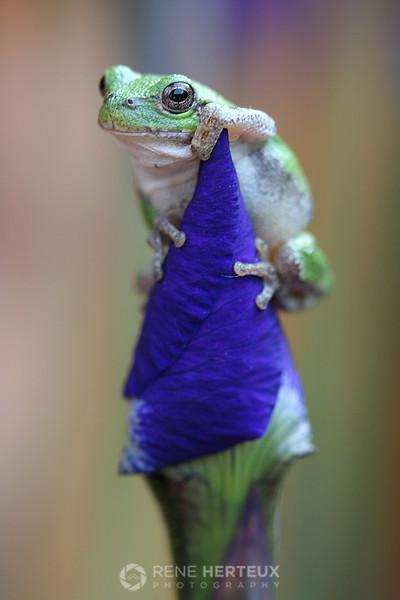 Tree frog on iris
