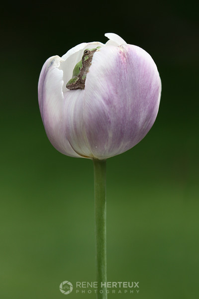 Copes green tree frog in tulip