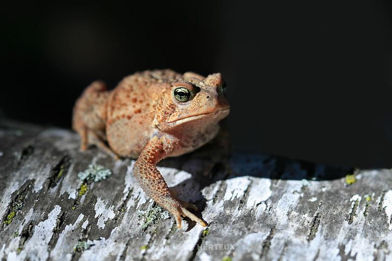 American toad on fallen birch