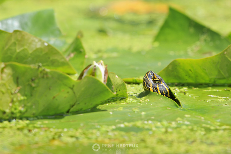 Turtle head through the lily pads