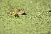 Leopard frog in duckweed
