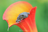 Copes tree frog in calla lily