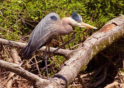 Great Blue Heron Hunting Fish