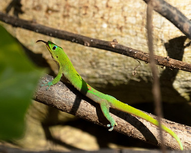 Hawaiian Gecko Makes Fast Work of Insects