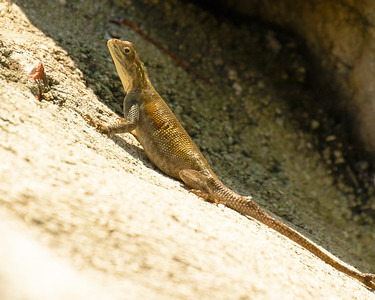 Lizard of Intercoastal, on boat ramp, with a number of others