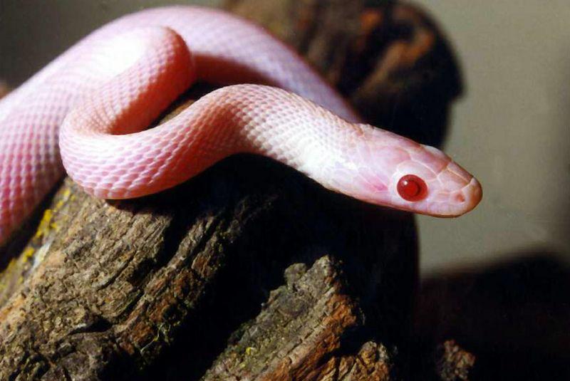 Cornsnake (Blizzard Color Morph) (Juvenile)