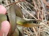 """This is a Western Yellowbelly Racer I """"detained"""" on the Indian Cliffs trail in Heyburn State Park near Coeur d'Alene, Idaho.  The snake was """"paroled"""" after several mugshots were taken with a Nikon Coolpix 990."""
