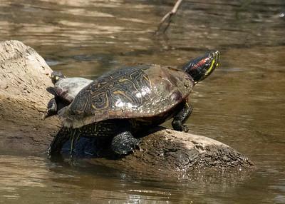Red Slider Turtle