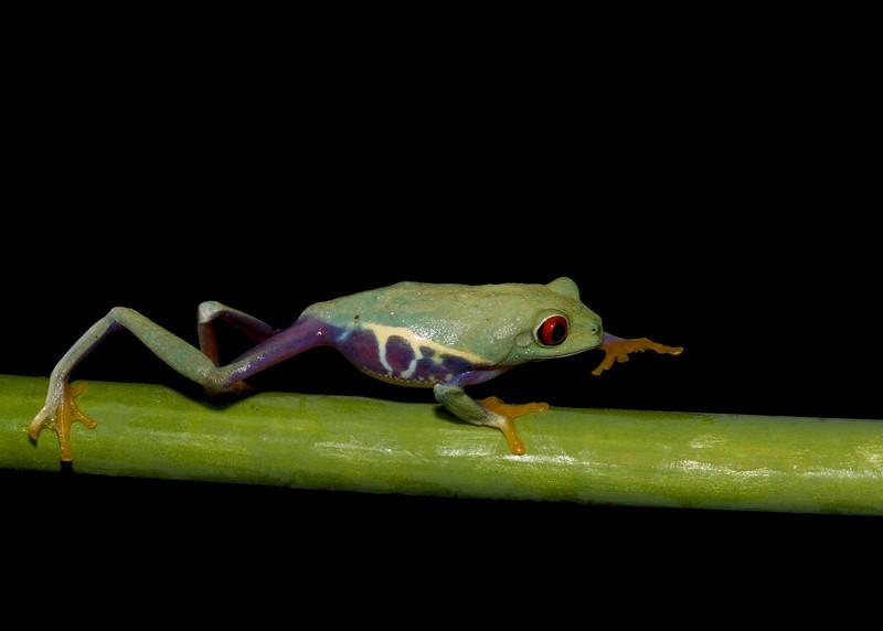 Frog red eyed tree (Agalychnis callidryas )