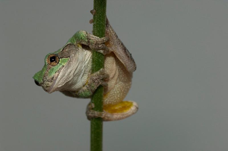 Frog eastern gray tree frog (Hyla versicolor)