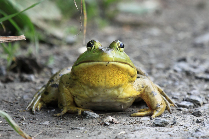 "American Bull Frog, seen on the road of Ridgefield National Wildlife Refuge  <div class=""ss-paypal-button""><br><form target=""paypal"" action=""https://www.paypal.com/cgi-bin/webscr"" method=""post"" ><input type=""hidden"" name=""cmd"" value=""_cart""><input type=""hidden"" name=""business"" value=""947PXEXBHP9H8""><input type=""hidden"" name=""lc"" value=""US""><input type=""hidden"" name=""item_name"" value=""American Bull Frog, seen on the road of Ridgefield National Wildlife Refuge""><input type=""hidden"" name=""item_number"" value=""http:&#x2F;&#x2F;www.werthwildphotography.com&#x2F;Animals&#x2F;Reptiles-and-Amphibians-1&#x2F;i-733bKCn""><input type=""hidden"" name=""button_subtype"" value=""products""><input type=""hidden"" name=""no_note"" value=""0""><input type=""hidden"" name=""cn"" value=""Add special instructions to the seller:""><input type=""hidden"" name=""no_shipping"" value=""2""><input type=""hidden"" name=""currency_code"" value=""USD""><input type=""hidden"" name=""shipping"" value=""4.00""><input type=""hidden"" name=""add"" value=""1""><input type=""hidden"" name=""bn"" value=""PP-ShopCartBF:btn_cart_LG.gif:NonHosted""><table class=""printSize""><tr><td><input type=""hidden"" name=""on0"" value=""Print size"">Print size</td></tr><tr><td><select name=""os0""> <option value=""5 x 7"">5 x 7 $14.00 USD</option> <option value=""8 x 10"">8 x 10 $20.00 USD</option> <option value=""8 x 12"">8 x 12 $20.00 USD</option> <option value=""11 x 14"">11 x 14 $28.00 USD</option> <option value=""12 x 18"">12 x 18 $35.00 USD</option> <option value=""16 x 20"">16 x 20 $50.00 USD</option></select> </td></tr></table><input type=""hidden"" name=""currency_code"" value=""USD""><input type=""hidden"" name=""option_select0"" value=""5 x 7""><input type=""hidden"" name=""option_amount0"" value=""14.00""><input type=""hidden"" name=""option_select1"" value=""8 x 10""><input type=""hidden"" name=""option_amount1"" value=""20.00""><input type=""hidden"" name=""option_select2"" value=""8 x 12""><input type=""hidden"" name=""option_amount2"" value=""20.00""><input type=""hidden"" name=""option_select3"" value=""11 x 14""><input type=""hidden"" name=""option_amount3"" value=""28.00""><input type=""hidden"" name=""option_select4"" value=""12 x 18""><input type=""hidden"" name=""option_amount4"" value=""35.00""><input type=""hidden"" name=""option_select5"" value=""16 x 20""><input type=""hidden"" name=""option_amount5"" value=""50.00""><input type=""hidden"" name=""option_index"" value=""0""><input type=""image"" src=""https://www.paypalobjects.com/en_US/i/btn/btn_cart_LG.gif"" border=""0"" name=""submit"" alt=""PayPal - The safer, easier way to pay online!"" class=""btnPayPal""><img alt="""" border=""0"" src=""https://www.paypalobjects.com/en_US/i/scr/pixel.gif"" width=""1"" height=""1""></form></div><div class=""ss-paypal-button-end"" style=""display:none""></div>"