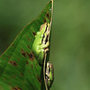 "Pacific tree frogs huddled together, seen at Ridgefield National Wildlife Refuge  <div class=""ss-paypal-button""><br><form target=""paypal"" action=""https://www.paypal.com/cgi-bin/webscr"" method=""post"" ><input type=""hidden"" name=""cmd"" value=""_cart""><input type=""hidden"" name=""business"" value=""947PXEXBHP9H8""><input type=""hidden"" name=""lc"" value=""US""><input type=""hidden"" name=""item_name"" value=""Pacific tree frogs huddled together, seen at Ridgefield National Wildlife Refuge""><input type=""hidden"" name=""item_number"" value=""http:&#x2F;&#x2F;www.werthwildphotography.com&#x2F;Animals&#x2F;Reptiles-and-Amphibians-1&#x2F;i-NQfZZ5R""><input type=""hidden"" name=""button_subtype"" value=""products""><input type=""hidden"" name=""no_note"" value=""0""><input type=""hidden"" name=""cn"" value=""Add special instructions to the seller:""><input type=""hidden"" name=""no_shipping"" value=""2""><input type=""hidden"" name=""currency_code"" value=""USD""><input type=""hidden"" name=""shipping"" value=""4.00""><input type=""hidden"" name=""add"" value=""1""><input type=""hidden"" name=""bn"" value=""PP-ShopCartBF:btn_cart_LG.gif:NonHosted""><table class=""printSize""><tr><td><input type=""hidden"" name=""on0"" value=""Print size"">Print size</td></tr><tr><td><select name=""os0""> <option value=""5 x 7"">5 x 7 $14.00 USD</option> <option value=""8 x 10"">8 x 10 $20.00 USD</option> <option value=""8 x 12"">8 x 12 $20.00 USD</option> <option value=""11 x 14"">11 x 14 $28.00 USD</option> <option value=""12 x 18"">12 x 18 $35.00 USD</option> <option value=""16 x 20"">16 x 20 $50.00 USD</option></select> </td></tr></table><input type=""hidden"" name=""currency_code"" value=""USD""><input type=""hidden"" name=""option_select0"" value=""5 x 7""><input type=""hidden"" name=""option_amount0"" value=""14.00""><input type=""hidden"" name=""option_select1"" value=""8 x 10""><input type=""hidden"" name=""option_amount1"" value=""20.00""><input type=""hidden"" name=""option_select2"" value=""8 x 12""><input type=""hidden"" name=""option_amount2"" value=""20.00""><input type=""hidden"" name=""option_select3"" value=""11 x 14""><input type=""hidden"" name=""option_amount3"" value=""28.00""><input type=""hidden"" name=""option_select4"" value=""12 x 18""><input type=""hidden"" name=""option_amount4"" value=""35.00""><input type=""hidden"" name=""option_select5"" value=""16 x 20""><input type=""hidden"" name=""option_amount5"" value=""50.00""><input type=""hidden"" name=""option_index"" value=""0""><input type=""image"" src=""https://www.paypalobjects.com/en_US/i/btn/btn_cart_LG.gif"" border=""0"" name=""submit"" alt=""PayPal - The safer, easier way to pay online!"" class=""btnPayPal""><img alt="""" border=""0"" src=""https://www.paypalobjects.com/en_US/i/scr/pixel.gif"" width=""1"" height=""1""></form></div><div class=""ss-paypal-button-end"" style=""display:none""></div>"