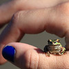 "This is a little frog named Tim, he is being held by my hand model Bre, found at Vancouver Lake.  <div class=""ss-paypal-button""><br><form target=""paypal"" action=""https://www.paypal.com/cgi-bin/webscr"" method=""post"" ><input type=""hidden"" name=""cmd"" value=""_cart""><input type=""hidden"" name=""business"" value=""947PXEXBHP9H8""><input type=""hidden"" name=""lc"" value=""US""><input type=""hidden"" name=""item_name"" value=""This is a little frog named Tim, he is being held by my hand model Bre, found at Vancouver Lake.""><input type=""hidden"" name=""item_number"" value=""http:&#x2F;&#x2F;www.werthwildphotography.com&#x2F;Animals&#x2F;Reptiles-and-Amphibians-1&#x2F;i-TJS8Hv3""><input type=""hidden"" name=""button_subtype"" value=""products""><input type=""hidden"" name=""no_note"" value=""0""><input type=""hidden"" name=""cn"" value=""Add special instructions to the seller:""><input type=""hidden"" name=""no_shipping"" value=""2""><input type=""hidden"" name=""currency_code"" value=""USD""><input type=""hidden"" name=""shipping"" value=""4.00""><input type=""hidden"" name=""add"" value=""1""><input type=""hidden"" name=""bn"" value=""PP-ShopCartBF:btn_cart_LG.gif:NonHosted""><table class=""printSize""><tr><td><input type=""hidden"" name=""on0"" value=""Print size"">Print size</td></tr><tr><td><select name=""os0""> <option value=""5 x 7"">5 x 7 $14.00 USD</option> <option value=""8 x 10"">8 x 10 $20.00 USD</option> <option value=""8 x 12"">8 x 12 $20.00 USD</option> <option value=""11 x 14"">11 x 14 $28.00 USD</option> <option value=""12 x 18"">12 x 18 $35.00 USD</option> <option value=""16 x 20"">16 x 20 $50.00 USD</option></select> </td></tr></table><input type=""hidden"" name=""currency_code"" value=""USD""><input type=""hidden"" name=""option_select0"" value=""5 x 7""><input type=""hidden"" name=""option_amount0"" value=""14.00""><input type=""hidden"" name=""option_select1"" value=""8 x 10""><input type=""hidden"" name=""option_amount1"" value=""20.00""><input type=""hidden"" name=""option_select2"" value=""8 x 12""><input type=""hidden"" name=""option_amount2"" value=""20.00""><input type=""hidden"" name=""option_select3"" value=""11 x 14""><input type=""hidden"" name=""option_amount3"" value=""28.00""><input type=""hidden"" name=""option_select4"" value=""12 x 18""><input type=""hidden"" name=""option_amount4"" value=""35.00""><input type=""hidden"" name=""option_select5"" value=""16 x 20""><input type=""hidden"" name=""option_amount5"" value=""50.00""><input type=""hidden"" name=""option_index"" value=""0""><input type=""image"" src=""https://www.paypalobjects.com/en_US/i/btn/btn_cart_LG.gif"" border=""0"" name=""submit"" alt=""PayPal - The safer, easier way to pay online!"" class=""btnPayPal""><img alt="""" border=""0"" src=""https://www.paypalobjects.com/en_US/i/scr/pixel.gif"" width=""1"" height=""1""></form></div><div class=""ss-paypal-button-end"" style=""display:none""></div>"
