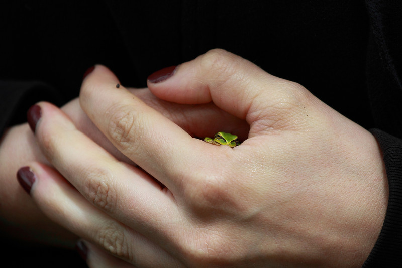 """Hold me close""  A pacific tree frog showing its comfort in a humans hands. Seen at Ridgefield National Wildlife Refuge  <div class=""ss-paypal-button""><br><form target=""paypal"" action=""https://www.paypal.com/cgi-bin/webscr"" method=""post"" ><input type=""hidden"" name=""cmd"" value=""_cart""><input type=""hidden"" name=""business"" value=""947PXEXBHP9H8""><input type=""hidden"" name=""lc"" value=""US""><input type=""hidden"" name=""item_name"" value=""&quot;Hold me close&quot;  A pacific tree frog showing its comfort in a humans hands. Seen at Ridgefield National Wildlife Refuge""><input type=""hidden"" name=""item_number"" value=""http:&#x2F;&#x2F;www.werthwildphotography.com&#x2F;Animals&#x2F;Reptiles-and-Amphibians-1&#x2F;i-TQ49qwx""><input type=""hidden"" name=""button_subtype"" value=""products""><input type=""hidden"" name=""no_note"" value=""0""><input type=""hidden"" name=""cn"" value=""Add special instructions to the seller:""><input type=""hidden"" name=""no_shipping"" value=""2""><input type=""hidden"" name=""currency_code"" value=""USD""><input type=""hidden"" name=""shipping"" value=""4.00""><input type=""hidden"" name=""add"" value=""1""><input type=""hidden"" name=""bn"" value=""PP-ShopCartBF:btn_cart_LG.gif:NonHosted""><table class=""printSize""><tr><td><input type=""hidden"" name=""on0"" value=""Print size"">Print size</td></tr><tr><td><select name=""os0""> <option value=""5 x 7"">5 x 7 $14.00 USD</option> <option value=""8 x 10"">8 x 10 $20.00 USD</option> <option value=""8 x 12"">8 x 12 $20.00 USD</option> <option value=""11 x 14"">11 x 14 $28.00 USD</option> <option value=""12 x 18"">12 x 18 $35.00 USD</option> <option value=""16 x 20"">16 x 20 $50.00 USD</option></select> </td></tr></table><input type=""hidden"" name=""currency_code"" value=""USD""><input type=""hidden"" name=""option_select0"" value=""5 x 7""><input type=""hidden"" name=""option_amount0"" value=""14.00""><input type=""hidden"" name=""option_select1"" value=""8 x 10""><input type=""hidden"" name=""option_amount1"" value=""20.00""><input type=""hidden"" name=""option_select2"" value=""8 x 12""><input type=""hidden"" name=""option_amount2"" value=""20.00""><input type=""hidden"" name=""option_select3"" value=""11 x 14""><input type=""hidden"" name=""option_amount3"" value=""28.00""><input type=""hidden"" name=""option_select4"" value=""12 x 18""><input type=""hidden"" name=""option_amount4"" value=""35.00""><input type=""hidden"" name=""option_select5"" value=""16 x 20""><input type=""hidden"" name=""option_amount5"" value=""50.00""><input type=""hidden"" name=""option_index"" value=""0""><input type=""image"" src=""https://www.paypalobjects.com/en_US/i/btn/btn_cart_LG.gif"" border=""0"" name=""submit"" alt=""PayPal - The safer, easier way to pay online!"" class=""btnPayPal""><img alt="""" border=""0"" src=""https://www.paypalobjects.com/en_US/i/scr/pixel.gif"" width=""1"" height=""1""></form></div><div class=""ss-paypal-button-end"" style=""display:none""></div>"