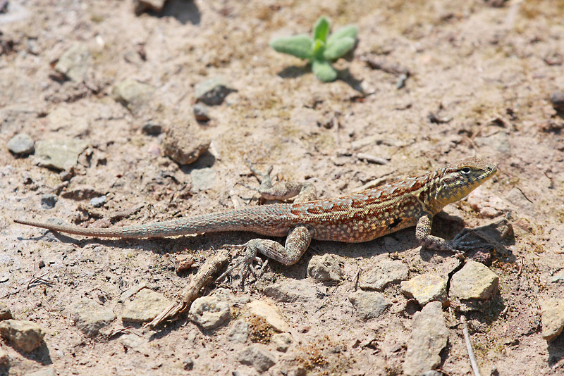 "A lizard found at Crystal Cove State Park in S. Cali.  <div class=""ss-paypal-button""><br><form target=""paypal"" action=""https://www.paypal.com/cgi-bin/webscr"" method=""post"" ><input type=""hidden"" name=""cmd"" value=""_cart""><input type=""hidden"" name=""business"" value=""947PXEXBHP9H8""><input type=""hidden"" name=""lc"" value=""US""><input type=""hidden"" name=""item_name"" value=""A lizard found at Crystal Cove State Park in S. Cali.""><input type=""hidden"" name=""item_number"" value=""http://www.werthwildphotography.com/Animals/Reptiles-and-Amphibians-1/i-fkssvKs""><input type=""hidden"" name=""button_subtype"" value=""products""><input type=""hidden"" name=""no_note"" value=""0""><input type=""hidden"" name=""cn"" value=""Add special instructions to the seller:""><input type=""hidden"" name=""no_shipping"" value=""2""><input type=""hidden"" name=""currency_code"" value=""USD""><input type=""hidden"" name=""shipping"" value=""4.00""><input type=""hidden"" name=""add"" value=""1""><input type=""hidden"" name=""bn"" value=""PP-ShopCartBF:btn_cart_LG.gif:NonHosted""><table class=""printSize""><tr><td><input type=""hidden"" name=""on0"" value=""Print size"">Print size</td></tr><tr><td><select name=""os0""> <option value=""5 x 7"">5 x 7 $14.00 USD</option> <option value=""8 x 10"">8 x 10 $20.00 USD</option> <option value=""8 x 12"">8 x 12 $20.00 USD</option> <option value=""11 x 14"">11 x 14 $28.00 USD</option> <option value=""12 x 18"">12 x 18 $35.00 USD</option> <option value=""16 x 20"">16 x 20 $50.00 USD</option></select> </td></tr></table><input type=""hidden"" name=""currency_code"" value=""USD""><input type=""hidden"" name=""option_select0"" value=""5 x 7""><input type=""hidden"" name=""option_amount0"" value=""14.00""><input type=""hidden"" name=""option_select1"" value=""8 x 10""><input type=""hidden"" name=""option_amount1"" value=""20.00""><input type=""hidden"" name=""option_select2"" value=""8 x 12""><input type=""hidden"" name=""option_amount2"" value=""20.00""><input type=""hidden"" name=""option_select3"" value=""11 x 14""><input type=""hidden"" name=""option_amount3"" value=""28.00""><input type=""hidden"" name=""option_select4"" value=""12 x 18""><input type=""hidden"" name=""option_amount4"" value=""35.00""><input type=""hidden"" name=""option_select5"" value=""16 x 20""><input type=""hidden"" name=""option_amount5"" value=""50.00""><input type=""hidden"" name=""option_index"" value=""0""><input type=""image"" src=""https://www.paypalobjects.com/en_US/i/btn/btn_cart_LG.gif"" border=""0"" name=""submit"" alt=""PayPal - The safer, easier way to pay online!"" class=""btnPayPal""><img alt="""" border=""0"" src=""https://www.paypalobjects.com/en_US/i/scr/pixel.gif"" width=""1"" height=""1""></form></div><div class=""ss-paypal-button-end"" style=""display:none""></div>"