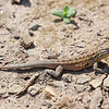 "A lizard found at Crystal Cove State Park in S. Cali.  <div class=""ss-paypal-button""><br><form target=""paypal"" action=""https://www.paypal.com/cgi-bin/webscr"" method=""post"" ><input type=""hidden"" name=""cmd"" value=""_cart""><input type=""hidden"" name=""business"" value=""947PXEXBHP9H8""><input type=""hidden"" name=""lc"" value=""US""><input type=""hidden"" name=""item_name"" value=""A lizard found at Crystal Cove State Park in S. Cali.""><input type=""hidden"" name=""item_number"" value=""http:&#x2F;&#x2F;www.werthwildphotography.com&#x2F;Animals&#x2F;Reptiles-and-Amphibians-1&#x2F;i-fkssvKs""><input type=""hidden"" name=""button_subtype"" value=""products""><input type=""hidden"" name=""no_note"" value=""0""><input type=""hidden"" name=""cn"" value=""Add special instructions to the seller:""><input type=""hidden"" name=""no_shipping"" value=""2""><input type=""hidden"" name=""currency_code"" value=""USD""><input type=""hidden"" name=""shipping"" value=""4.00""><input type=""hidden"" name=""add"" value=""1""><input type=""hidden"" name=""bn"" value=""PP-ShopCartBF:btn_cart_LG.gif:NonHosted""><table class=""printSize""><tr><td><input type=""hidden"" name=""on0"" value=""Print size"">Print size</td></tr><tr><td><select name=""os0""> <option value=""5 x 7"">5 x 7 $14.00 USD</option> <option value=""8 x 10"">8 x 10 $20.00 USD</option> <option value=""8 x 12"">8 x 12 $20.00 USD</option> <option value=""11 x 14"">11 x 14 $28.00 USD</option> <option value=""12 x 18"">12 x 18 $35.00 USD</option> <option value=""16 x 20"">16 x 20 $50.00 USD</option></select> </td></tr></table><input type=""hidden"" name=""currency_code"" value=""USD""><input type=""hidden"" name=""option_select0"" value=""5 x 7""><input type=""hidden"" name=""option_amount0"" value=""14.00""><input type=""hidden"" name=""option_select1"" value=""8 x 10""><input type=""hidden"" name=""option_amount1"" value=""20.00""><input type=""hidden"" name=""option_select2"" value=""8 x 12""><input type=""hidden"" name=""option_amount2"" value=""20.00""><input type=""hidden"" name=""option_select3"" value=""11 x 14""><input type=""hidden"" name=""option_amount3"" value=""28.00""><input type=""hidden"" name=""option_select4"" value=""12 x 18""><input type=""hidden"" name=""option_amount4"" value=""35.00""><input type=""hidden"" name=""option_select5"" value=""16 x 20""><input type=""hidden"" name=""option_amount5"" value=""50.00""><input type=""hidden"" name=""option_index"" value=""0""><input type=""image"" src=""https://www.paypalobjects.com/en_US/i/btn/btn_cart_LG.gif"" border=""0"" name=""submit"" alt=""PayPal - The safer, easier way to pay online!"" class=""btnPayPal""><img alt="""" border=""0"" src=""https://www.paypalobjects.com/en_US/i/scr/pixel.gif"" width=""1"" height=""1""></form></div><div class=""ss-paypal-button-end"" style=""display:none""></div>"