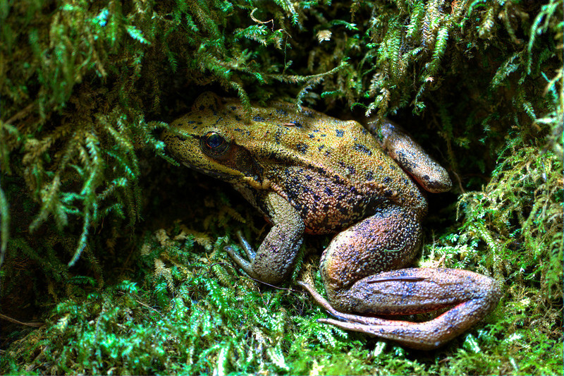 "I am not sure what kind of frog this is but there is a possibility that it is the endangered Oregon Spotted Frog. Seen in the Oneonta Gorge within the Columbia River Gorge  <div class=""ss-paypal-button""><br><form target=""paypal"" action=""https://www.paypal.com/cgi-bin/webscr"" method=""post"" ><input type=""hidden"" name=""cmd"" value=""_cart""><input type=""hidden"" name=""business"" value=""947PXEXBHP9H8""><input type=""hidden"" name=""lc"" value=""US""><input type=""hidden"" name=""item_name"" value=""I am not sure what kind of frog this is but there is a possibility that it is the endangered Oregon Spotted Frog. Seen in the Oneonta Gorge within the Columbia River Gorge""><input type=""hidden"" name=""item_number"" value=""http://www.werthwildphotography.com/Animals/Reptiles-and-Amphibians-1/i-h8jQ6KD""><input type=""hidden"" name=""button_subtype"" value=""products""><input type=""hidden"" name=""no_note"" value=""0""><input type=""hidden"" name=""cn"" value=""Add special instructions to the seller:""><input type=""hidden"" name=""no_shipping"" value=""2""><input type=""hidden"" name=""currency_code"" value=""USD""><input type=""hidden"" name=""shipping"" value=""4.00""><input type=""hidden"" name=""add"" value=""1""><input type=""hidden"" name=""bn"" value=""PP-ShopCartBF:btn_cart_LG.gif:NonHosted""><table class=""printSize""><tr><td><input type=""hidden"" name=""on0"" value=""Print size"">Print size</td></tr><tr><td><select name=""os0""> <option value=""5 x 7"">5 x 7 $14.00 USD</option> <option value=""8 x 10"">8 x 10 $20.00 USD</option> <option value=""8 x 12"">8 x 12 $20.00 USD</option> <option value=""11 x 14"">11 x 14 $28.00 USD</option> <option value=""12 x 18"">12 x 18 $35.00 USD</option> <option value=""16 x 20"">16 x 20 $50.00 USD</option></select> </td></tr></table><input type=""hidden"" name=""currency_code"" value=""USD""><input type=""hidden"" name=""option_select0"" value=""5 x 7""><input type=""hidden"" name=""option_amount0"" value=""14.00""><input type=""hidden"" name=""option_select1"" value=""8 x 10""><input type=""hidden"" name=""option_amount1"" value=""20.00""><input type=""hidden"" name=""option_select2"" value=""8 x 12""><input type=""hidden"" name=""option_amount2"" value=""20.00""><input type=""hidden"" name=""option_select3"" value=""11 x 14""><input type=""hidden"" name=""option_amount3"" value=""28.00""><input type=""hidden"" name=""option_select4"" value=""12 x 18""><input type=""hidden"" name=""option_amount4"" value=""35.00""><input type=""hidden"" name=""option_select5"" value=""16 x 20""><input type=""hidden"" name=""option_amount5"" value=""50.00""><input type=""hidden"" name=""option_index"" value=""0""><input type=""image"" src=""https://www.paypalobjects.com/en_US/i/btn/btn_cart_LG.gif"" border=""0"" name=""submit"" alt=""PayPal - The safer, easier way to pay online!"" class=""btnPayPal""><img alt="""" border=""0"" src=""https://www.paypalobjects.com/en_US/i/scr/pixel.gif"" width=""1"" height=""1""></form></div><div class=""ss-paypal-button-end"" style=""display:none""></div>"