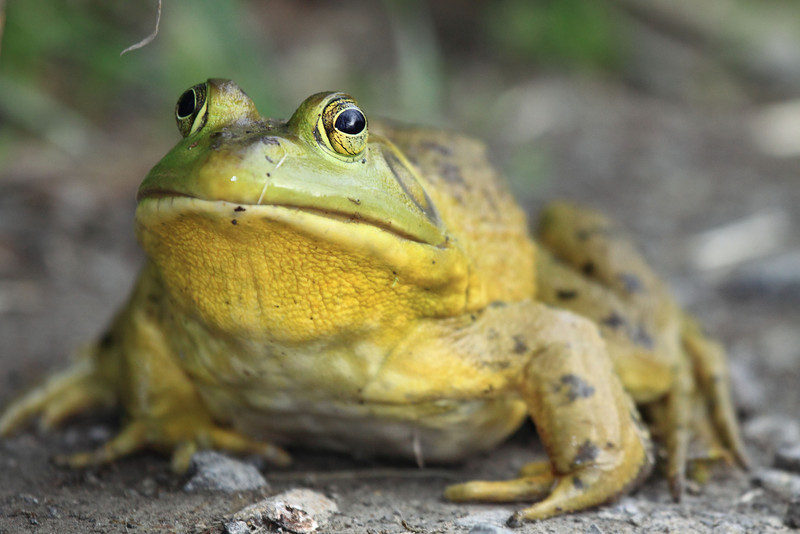 "Bull Frog camped out along the road at Ridgefield National Wildlife Refuge  <div class=""ss-paypal-button""><br><form target=""paypal"" action=""https://www.paypal.com/cgi-bin/webscr"" method=""post"" ><input type=""hidden"" name=""cmd"" value=""_cart""><input type=""hidden"" name=""business"" value=""947PXEXBHP9H8""><input type=""hidden"" name=""lc"" value=""US""><input type=""hidden"" name=""item_name"" value=""Bull Frog camped out along the road at Ridgefield National Wildlife Refuge""><input type=""hidden"" name=""item_number"" value=""http://www.werthwildphotography.com/Animals/Reptiles-and-Amphibians-1/i-znk9r3J""><input type=""hidden"" name=""button_subtype"" value=""products""><input type=""hidden"" name=""no_note"" value=""0""><input type=""hidden"" name=""cn"" value=""Add special instructions to the seller:""><input type=""hidden"" name=""no_shipping"" value=""2""><input type=""hidden"" name=""currency_code"" value=""USD""><input type=""hidden"" name=""shipping"" value=""4.00""><input type=""hidden"" name=""add"" value=""1""><input type=""hidden"" name=""bn"" value=""PP-ShopCartBF:btn_cart_LG.gif:NonHosted""><table class=""printSize""><tr><td><input type=""hidden"" name=""on0"" value=""Print size"">Print size</td></tr><tr><td><select name=""os0""> <option value=""5 x 7"">5 x 7 $14.00 USD</option> <option value=""8 x 10"">8 x 10 $20.00 USD</option> <option value=""8 x 12"">8 x 12 $20.00 USD</option> <option value=""11 x 14"">11 x 14 $28.00 USD</option> <option value=""12 x 18"">12 x 18 $35.00 USD</option> <option value=""16 x 20"">16 x 20 $50.00 USD</option></select> </td></tr></table><input type=""hidden"" name=""currency_code"" value=""USD""><input type=""hidden"" name=""option_select0"" value=""5 x 7""><input type=""hidden"" name=""option_amount0"" value=""14.00""><input type=""hidden"" name=""option_select1"" value=""8 x 10""><input type=""hidden"" name=""option_amount1"" value=""20.00""><input type=""hidden"" name=""option_select2"" value=""8 x 12""><input type=""hidden"" name=""option_amount2"" value=""20.00""><input type=""hidden"" name=""option_select3"" value=""11 x 14""><input type=""hidden"" name=""option_amount3"" value=""28.00""><input type=""hidden"" name=""option_select4"" value=""12 x 18""><input type=""hidden"" name=""option_amount4"" value=""35.00""><input type=""hidden"" name=""option_select5"" value=""16 x 20""><input type=""hidden"" name=""option_amount5"" value=""50.00""><input type=""hidden"" name=""option_index"" value=""0""><input type=""image"" src=""https://www.paypalobjects.com/en_US/i/btn/btn_cart_LG.gif"" border=""0"" name=""submit"" alt=""PayPal - The safer, easier way to pay online!"" class=""btnPayPal""><img alt="""" border=""0"" src=""https://www.paypalobjects.com/en_US/i/scr/pixel.gif"" width=""1"" height=""1""></form></div><div class=""ss-paypal-button-end"" style=""display:none""></div>"
