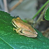 August 9, 2009 - Pacific Tree Frog along the Rogue River, Rogue Valley, Oregon.