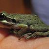 July 27, 2010.  Pacific chorus frog, Cave Junction, Oregon.