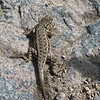 September 12, 2010 - Western fence lizard at Crater Lake NP, Oregon.