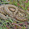 April 11, 2011.  Gopher snake on private property between Medford and Jacksonville, Oregon.