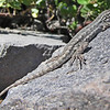 August 13, 2011 - Western Fence Lizard at Crater Lake NP (photo credit to JDM)