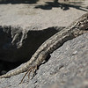 August 13, 2011 - Western Fence Lizard at Crater Lake NP