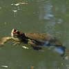 May 12, 2013.  Western pond turtle at the duck pond in Lithia Park, Ashland, OR.