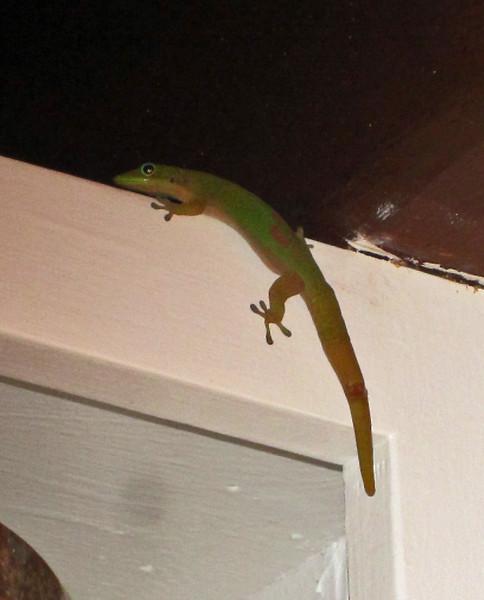 July 18, 2014. Gecko in the kitchen, Kona, Big Island, Hawaii.