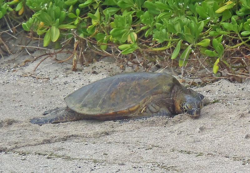 July 21, 2014.  Green Sea Turtle, Kaloko-Konokohau National Historic Park, Hawaii Big Island