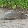 July 21, 2014.  Green Sea Turtle, Kaloko-Konokohau National Historic Park, Hawaii Big Island