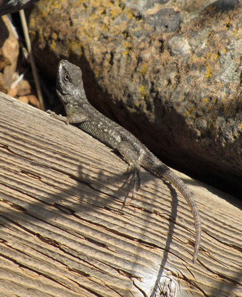 May 24, 2014.  Western Fence Lizard at Pilot Rock in Cascade-Siskiyou NM, Oregon.