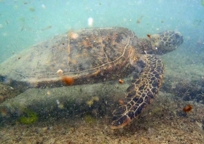 July 22, 2014.  Green Sea Turtle, Kaloko-Konokohau National Historic Park, Hawaii Big Island