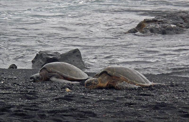 July 15, 2014. Green sea turtle, Punalu'u Beach, Big Island, Hawaii.