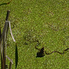 June 7, 2014.  Common garter snake at Parsnips Lakes, Cascade-Siskiyou NM, Oregon