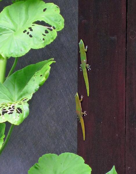 July 20, 2014.  Geckos, Kona, Hawaii Big Island