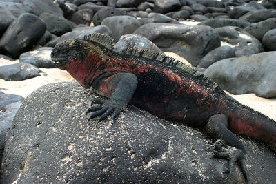 Marine Iguana (Amblyrhynchus cristatus) Galapagos National Park, Ecuador