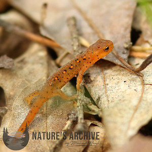 Eastern Red-spotted Newt, Sterling Forest, New York